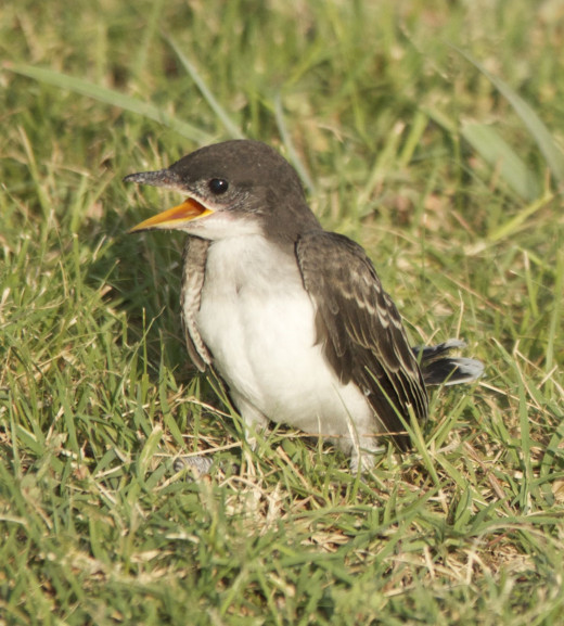 Eastern Kingbird Fledgling