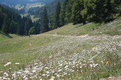 Alp Mountain Wildflowers, Switzerland