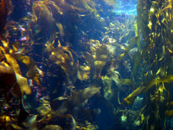 Nutritional Benefits From Kelp