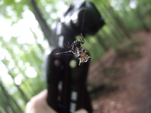 Spined Micrathena. This spider belongs to the family of spiny back orb weavers. They are known for the prominent spines on their abdomen. I took this picture on a hiking trip.