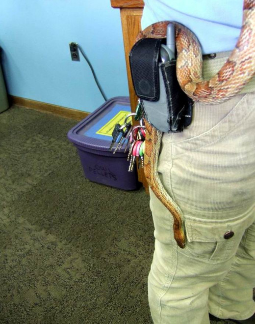 A corn snake I used for a demo at the Science Center where I worked, trying to make a slick getaway