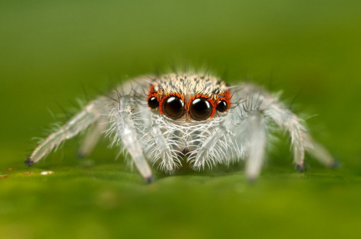 Jumping Spider. How can you look at a creature like this and not be amazed at the design and beauty?