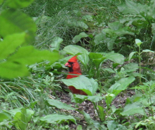 Northern Cardinal foraging on the ground in my roadside ditch.