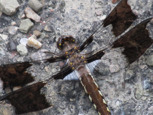 Dragonfly resting on the warm road next to the ditch.