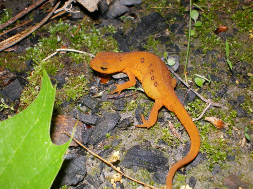Red Salamanders love the cool and damp ditch environment.
