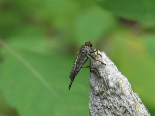 Robber Fly perched on small dead stump in ditch.