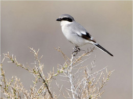 Northern Shrikes love little lizards and insects found in ditch areas.