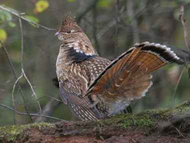 Ruffed Grouse--Pennsylvania State Bird These game birds call ditches, fields and forbs their homes.