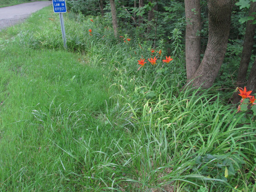 Wild lilies and many different grass varieties, along with wild violets and grapevines thrive in ditch settings.