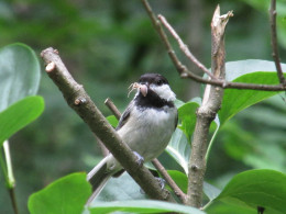 Black-capped Chickadee found a juicy insect for her chicks.