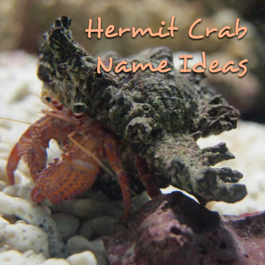 Hermit Crab Names Pethelpful