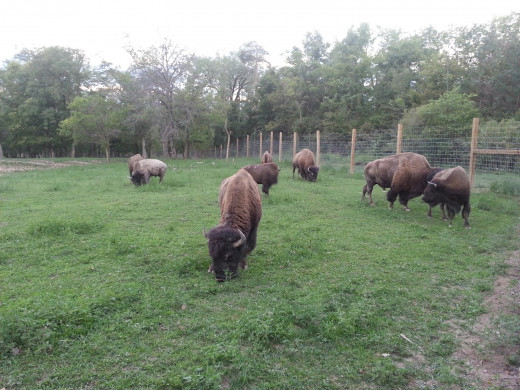 Bison at Ouabache State Park