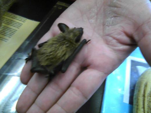 Common Brown Bat