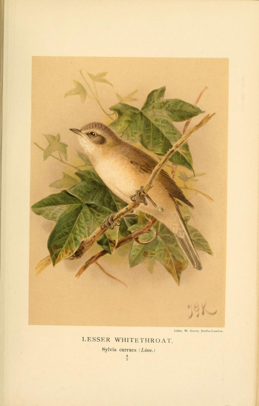 Dresser for that in many rests the Spectacled warbler resembled the lesser whitethroat