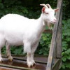 Nidag the Goat profile image