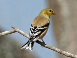 The American Goldfinch is not the Same as Other Birds