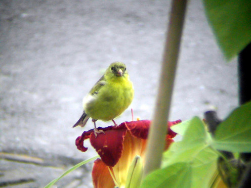This is an image of a female American Goldfinch (Carduelis tristis) sitting on top of a red lily.