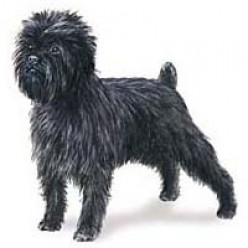 Affenpinscher - The Monkey Dog