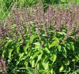 Thulasi in Garden