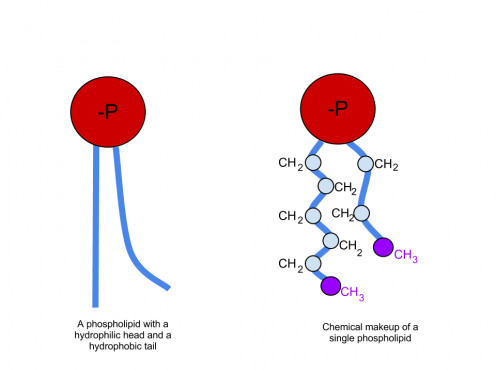 A Phospholipid with Tails