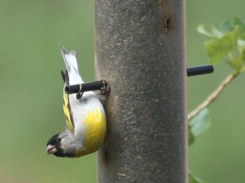 Lawrence's Goldfinch (See 'Feeding' capsule)