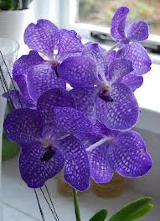 Vanda orchids grow profusely on the Big Island
