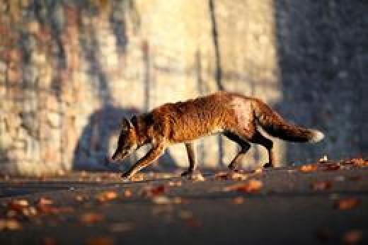 Poor condition urban fox