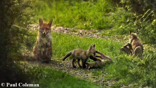 Rural fox and her cubs