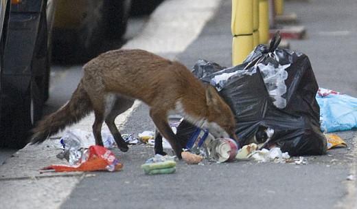 Urban fox scavenging in rubbish bags