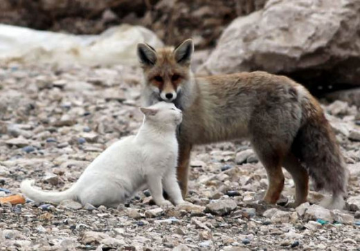 Fox and cats can get on OK
