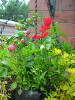 One of my hanging baskets - shortly after creation