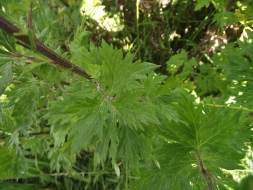 Mugwort foliage is green above and the lobes are more pointed. The foliage of this species lacks the volatile oil.
