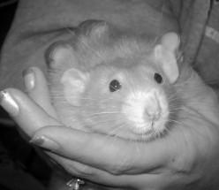 Rats as pets:)