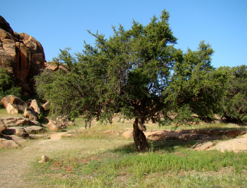 Argan Tree Near Tafraoute