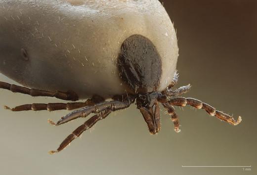 This is a Castor Bean Tick. Pretty Gross.