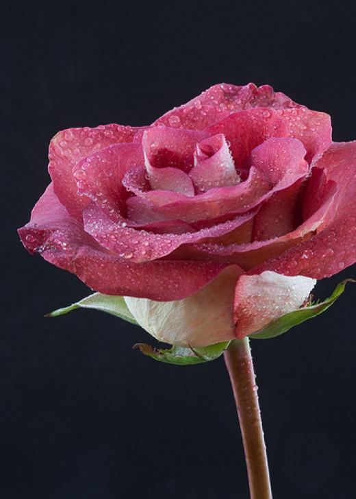 Pink Rose III from Kim Haddon  flickr.com