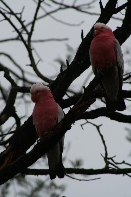 The galah is another regular visitor. Actually, to be more accurate I should say 'hundreds of galahs' are regular visitors. lol.