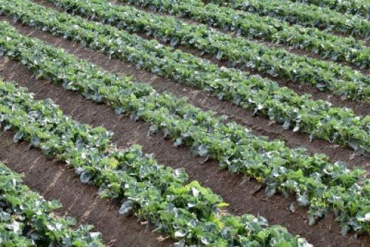 Planting Broccoli in Field
