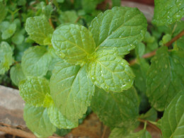 Mint is delicious in iced tea.