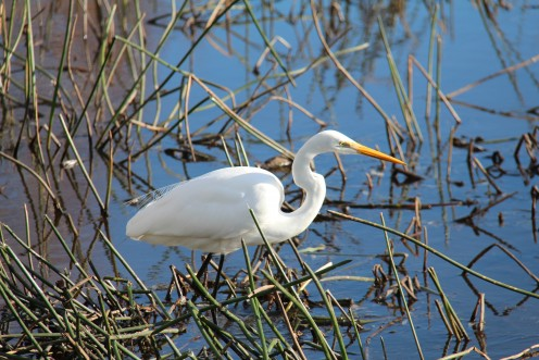 The elegant Eastern Great Egret