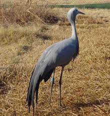 Blue Crane - National bird