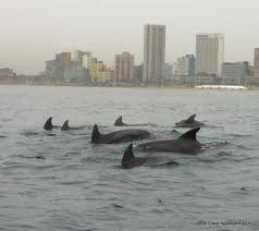 Dolphins in Durban