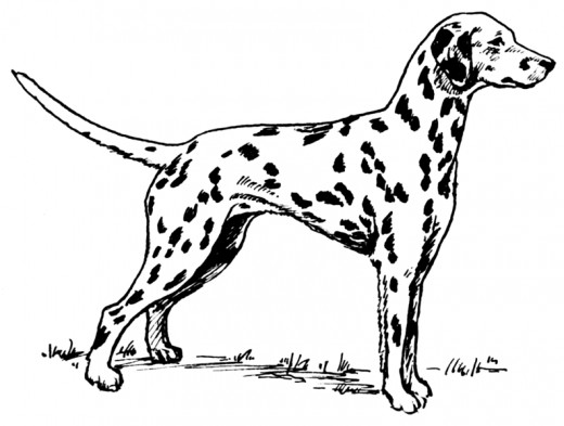 Line art drawing of a Dalmatian, by Pearson Scott Forseman