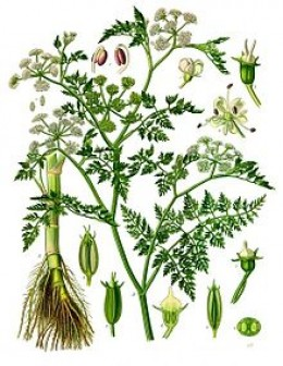Water Dropwort is just one of the poisonous strains of Hemlock.