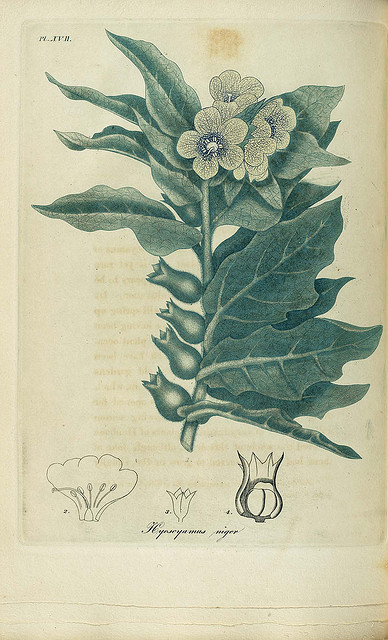 Henbane, used in hallucinogenic concoctions but can be extremely poisonous.