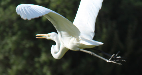 The Great Egret's wings are impressively large - note the beautiful curve and the 'keel-like' position of the neck