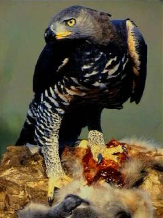 African Crowned Eagle with a kill