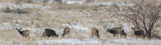 This was as close as I could get to a nice mulie buck. By making the most of the situation and making something big small I was able to get this panorama shot.