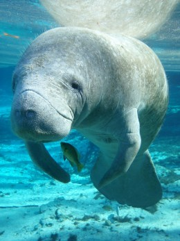 At Blue Spring State Park you can see manatees.
