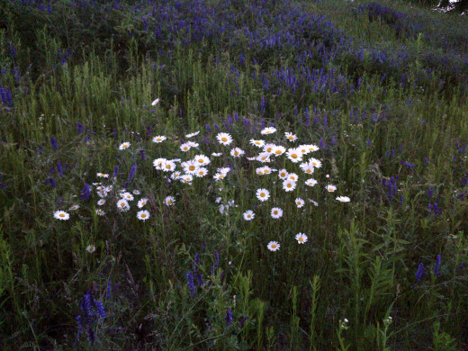 Cow Vetch (moave/purple) and Oxeye Daisy (white).